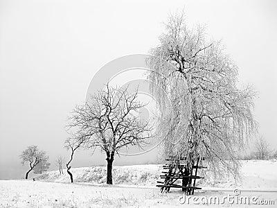 Winter Scene - frost trees