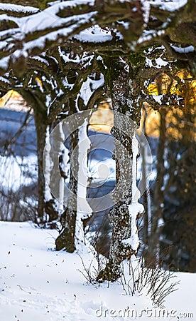 Free Winter Scene - Snowy Rows Of Trees Stock Image - 142176061