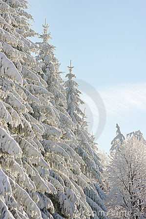 Winter scenery with snow spruces