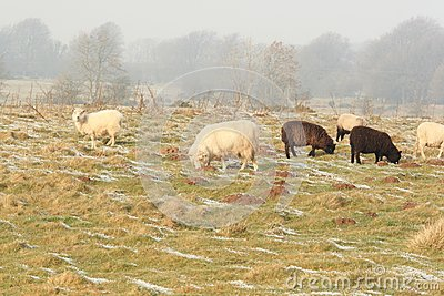 Winter sheep grazing pasture with snow