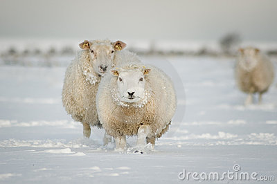 Winter sheep in snow