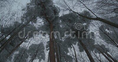 Winter Sky en Tall Trees stock footage