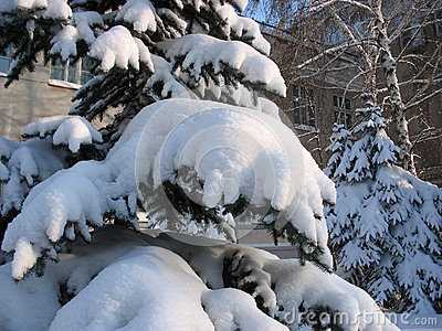 Winter. Snow-capped fir twigs