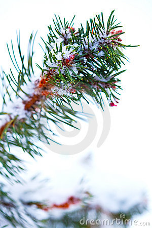 Winter snow covered pine tree branch