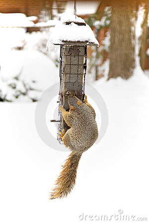 Free Winter Squirrel Stock Photography - 4438192