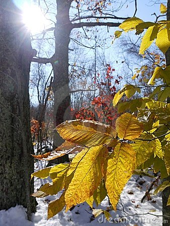Winter: sunlit beech leaves and snow