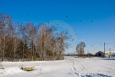 Winter sunny landscape with flight of crows