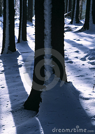 Winter tree trunks