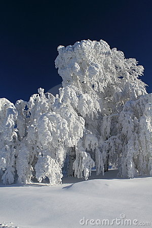Free Winter Trees Royalty Free Stock Photo - 17503315