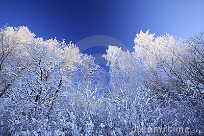 Winter trees against blue sky