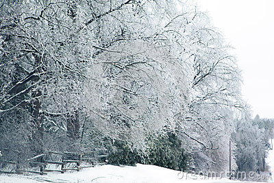 Winter trees in icing
