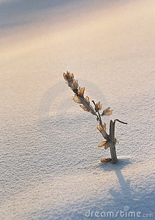 Free Winter Twig In Snow Stock Image - 1578491