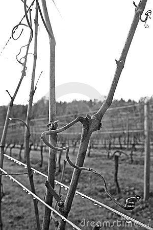 Free Winter Vines Royalty Free Stock Photography - 1683837