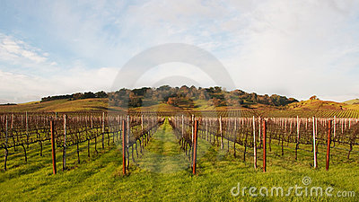 Winter Vineyard Awaiting Springtime