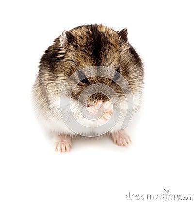 Free Winter White Russian Dwarf Hamster Stock Image - 13125841
