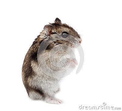 Free Winter White Russian Dwarf Hamster Stock Photo - 13126020