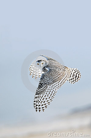 Winter white Snowy Owl In-Flight