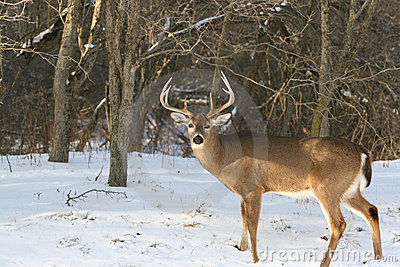 Winter Whitetail 8pt Buck