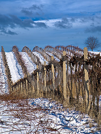 Winter work in vineyard