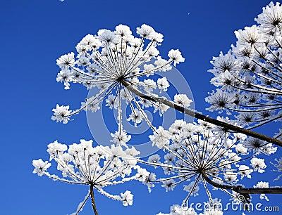 Winterblume