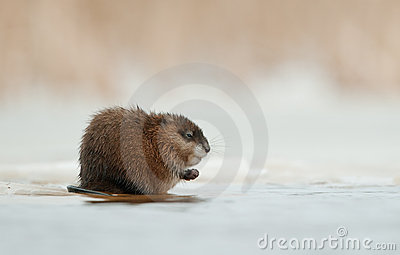 Wintering muskrat  on the edge of the ice