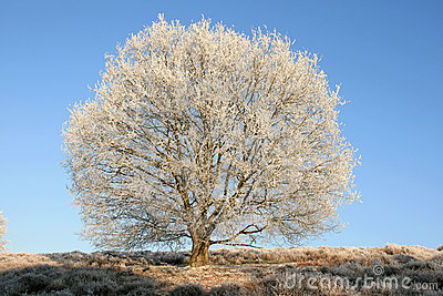 Wintery chestnut tree