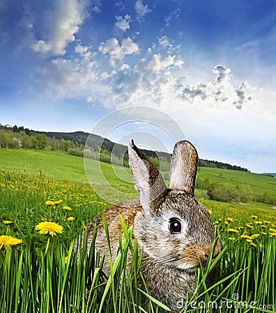 Wiosna królik