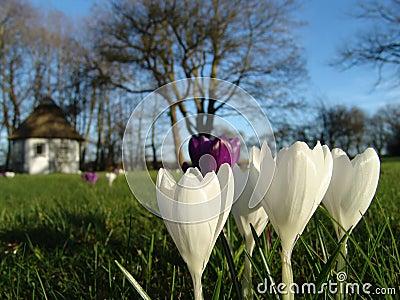 Wiosna krokus