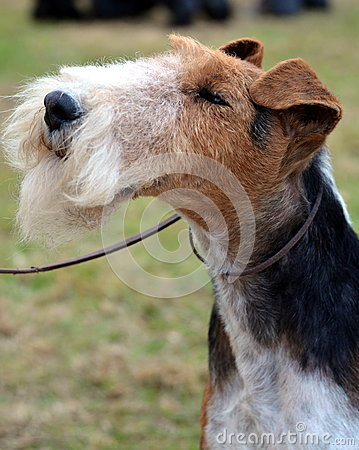 Wire Haired Fox Terrier portrait