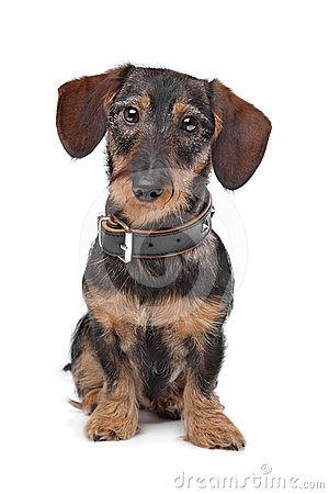 Wire haired miniature Dachshund