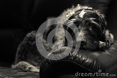 Wire-haired pointer
