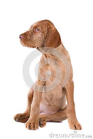 Wire haired Vizsla puppy