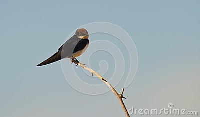 Wire-tailed Swallow  on branch