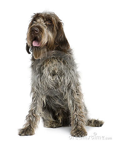 Wirehaired Pointing Griffon, sitting