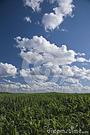 Wisconsin cornfields and skies
