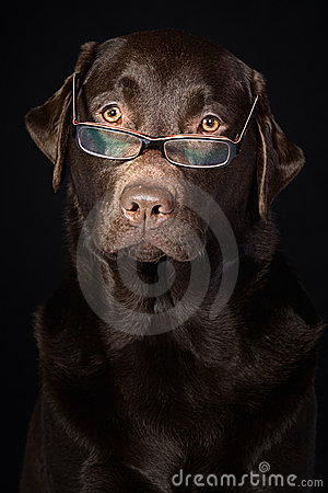 Wise and Intelligent Looking Chocolate Labrador