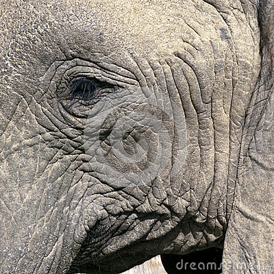 Wise old elephant