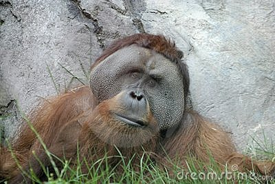 Wise old orangutan