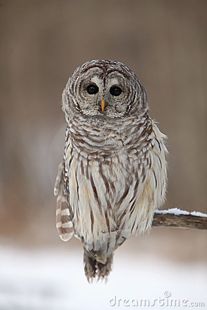 Free Wise Old Owl Stock Images - 13750214