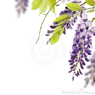 Free Wisteria Flowers, Floral Design Element Royalty Free Stock Photos - 24350798