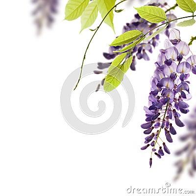 Wisteria flowers, floral design element