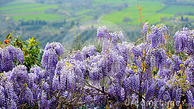 Wisteria in Tuscany