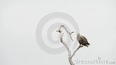 Wit-de steel verwijderde van adelaar (Haliaeetus-albicilla)