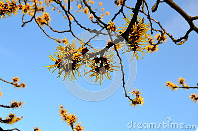 Witch Hazel against blue sky