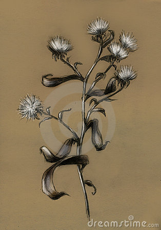 Withered field flower - sketch