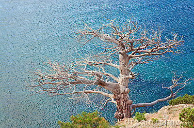Withered juniper tree on sea background