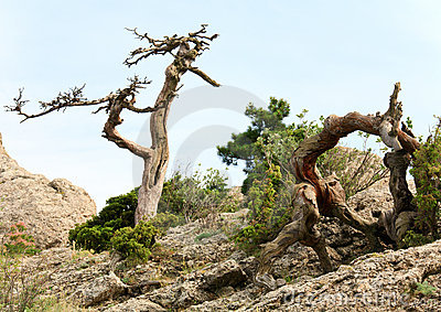 Withered juniper tree on sky background