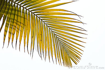 Withered leaves of palm tree