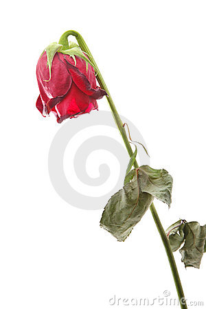 Free Withered Rose Royalty Free Stock Photo - 7714115