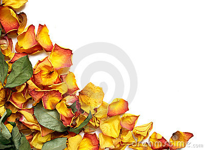 Withered rose petals